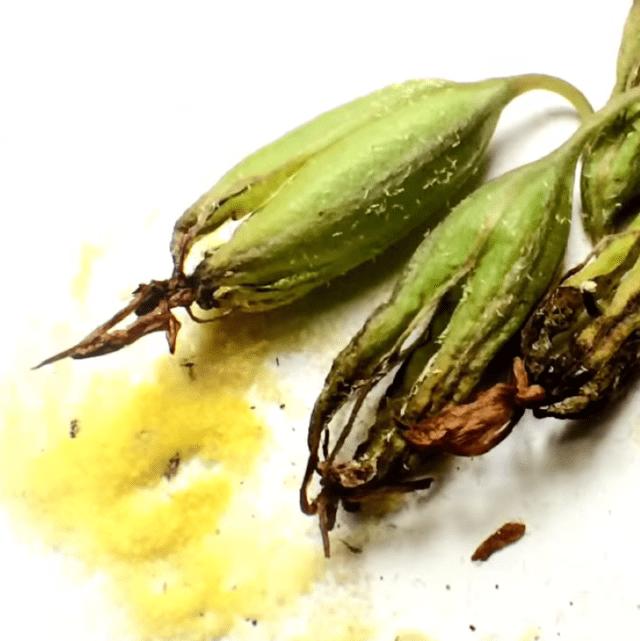 Wan Chang Pasom Khloeng Muang Pods and Pollen